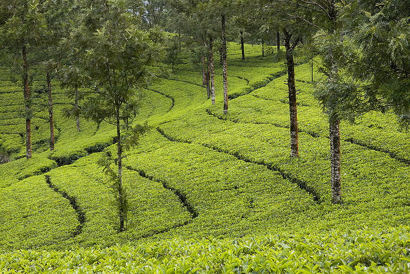 800px-Tea_Gardens_of_Munnar