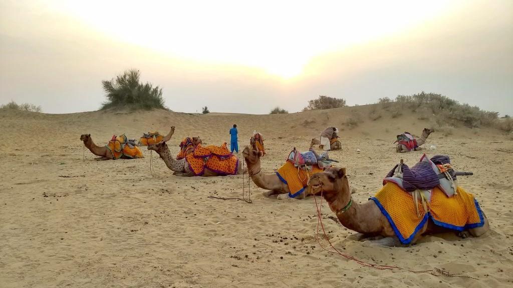 Camel Jaisalmer