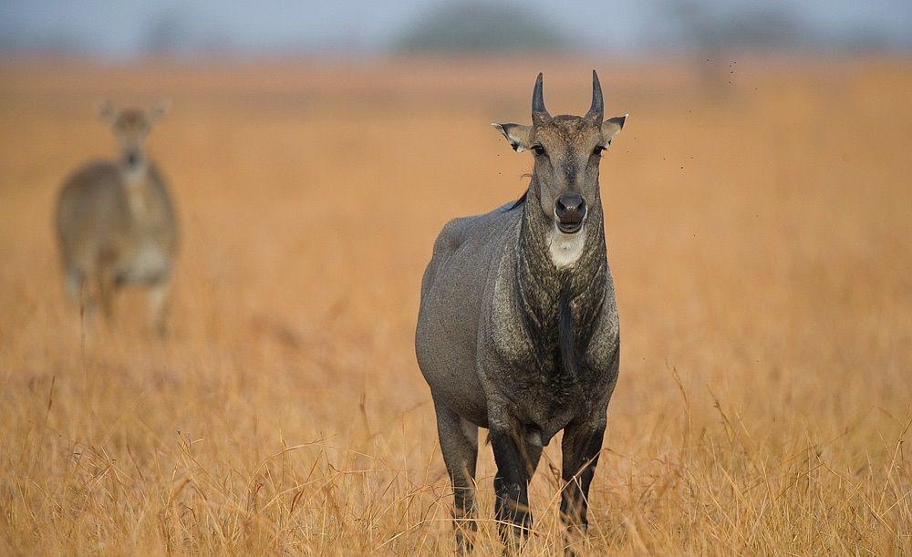 Nilgai Phulwari Ki Nal Wildlife Sanctuary
