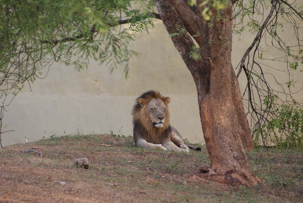 Lion Safari Nandankanan Bhubaneswar Orissa India