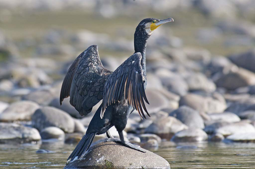 Little Cormorant Nameri National Park Assam India