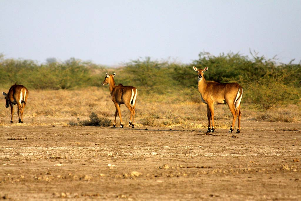 Nilgais Rann of Kutch Zainabad Gujarat India