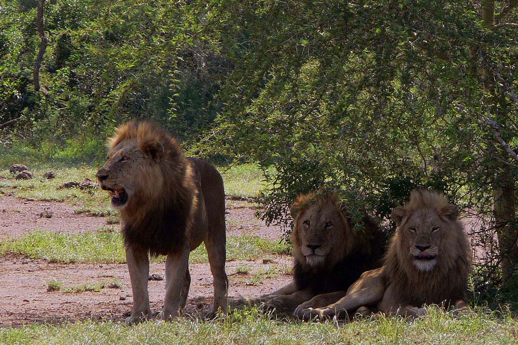 Sasan Gir Lion Wildlife Sanctuary Gujarat India